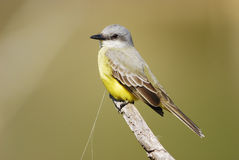 Kingbird ( Tyrannus melancholicus ). Tropical  Kingbird perching on a dead branch with soft background Royalty Free Stock Photos