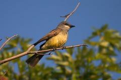 Kingbird van Cassin Royalty-vrije Stock Fotografie