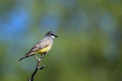 Kingbird van Cassin, Tyrannus vociferans stock foto's