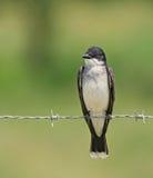 kingbird wschodni Zdjęcia Stock