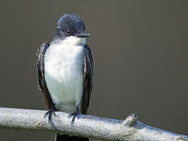kingbird wschodni Fotografia Stock