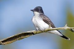 kingbird wschodni Fotografia Royalty Free