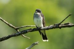 kingbird wschodni Zdjęcia Royalty Free