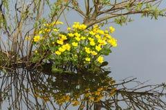 Kingcup Blumen stockbilder