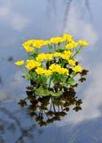 Kingcup eller Marsh Marigold Fotografering för Bildbyråer