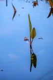 Kingcup eller Marsh Marigold calthapalustrisstagnalis Royaltyfria Foton