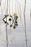 Kingcup flowers with reeds in shallow water Royalty Free Stock Photo