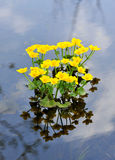 Kingcup of Marsh Marigold Stock Afbeelding