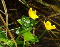 Kingcup of Marsh Marigold Caltha-palustris die in het moeras tot bloei komen Stock Afbeeldingen