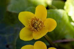 Kingcup or marsh marigold near the river royalty free stock photos