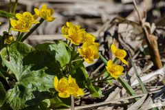 Kingcup or marsh marigold near the river stock images
