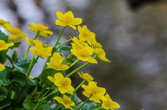 Kingcup or marsh marigold on waterside stock photography