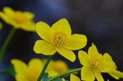 Kingcup or marsh marigold on waterside stock image