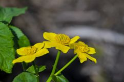 Kingcup or marsh marigold on waterside royalty free stock photo