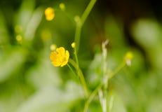 Kingcup Marsh Marigold Caltha palustrismakro Fotografering för Bildbyråer
