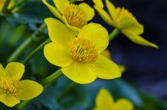 Kingcup or marsh marigold on waterside royalty free stock image