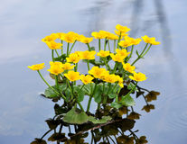 Free Kingcup Or Marsh Marigold Royalty Free Stock Photography - 30668757