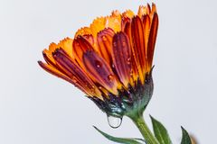 Red yellow flower pot marigold. Kingdom:Plantae Clade:Angiosperms Clade:Eudicots Clade:Asterids Order:Asterales Family:Asteraceae Genus:Calendula Species:C stock image