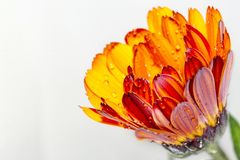 Red yellow flower pot marigold. Kingdom:Plantae Clade:Angiosperms Clade:Eudicots Clade:Asterids Order:Asterales Family:Asteraceae Genus:Calendula Species:C royalty free stock photo
