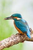 Kingerfisher con i pesci Immagini Stock Libere da Diritti