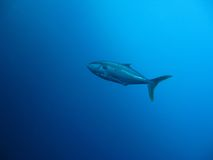 Kingfish. A single kingfish in the blue depths of the ocean Royalty Free Stock Images