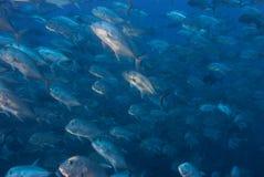 kingfish Royaltyfri Fotografi