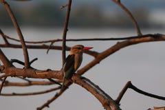 Kingfisher запятнанный в Зимбабве стоковые изображения
