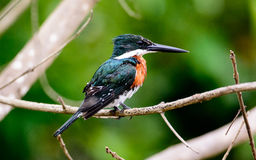 Kingfisher Амазонки Стоковое фото RF
