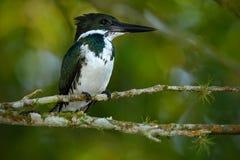 Kingfisher Амазонки, amazona Chloroceryle Зеленая и белая птица kingfisher сидя на ветви Kingfisher в среду обитания i природы Стоковые Фото