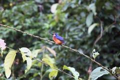 Kingfisher Борнео стоковая фотография rf