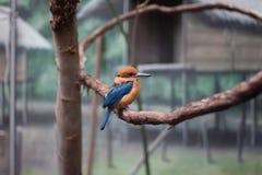 Kingfisher Гуама Стоковые Фотографии RF