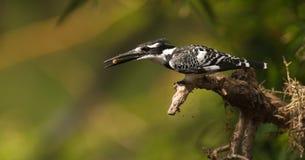 kingfisher звероловства pied Стоковое Фото