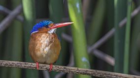 Kingfisher малахита смотрит право на Reed стоковое изображение
