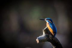 Kingfisher наслаждается солнечным светом и заразительными рыбами Стоковые Фотографии RF