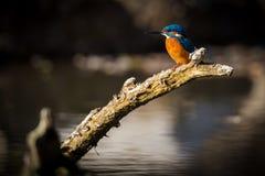 Kingfisher наслаждается солнечным светом и заразительными рыбами Стоковые Фото