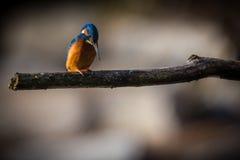 Kingfisher наслаждается солнечным светом и заразительными рыбами Стоковое Изображение