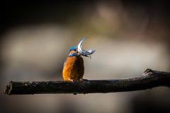 Kingfisher наслаждается солнечным светом и заразительными рыбами Стоковое фото RF