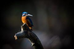 Kingfisher наслаждается солнечным светом и заразительными рыбами Стоковые Изображения