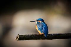 Kingfisher наслаждается солнечным светом и заразительными рыбами Стоковые Изображения RF