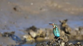 Kingfisher на банке устрицы Стоковое Фото