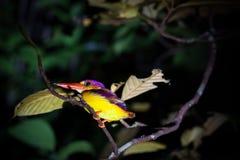 Kingfisher на ветви дерева на ноче Стоковые Фото