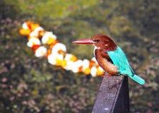 Kingfisher на озере, Индии Стоковая Фотография RF