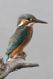 Kingfisher на ручке Стоковые Фотографии RF