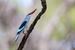 Kingfisher полесья садясь на насест с яркими голубыми пер на ветви Стоковые Изображения