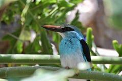 Kingfisher полесья Стоковые Фотографии RF