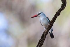 Kingfisher полесья садясь на насест с яркими голубыми пер на ветви Стоковая Фотография RF
