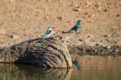Kingfisher полесья сидя на пне в воде Стоковые Изображения