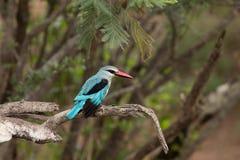 Kingfisher полесья стоковые фото