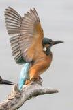 Kingfisher протягивая его крыла Стоковая Фотография
