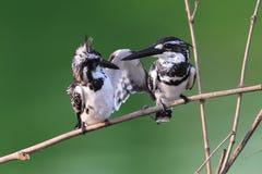Kingfisher птицы пестрый Стоковое фото RF